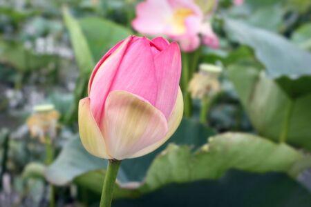 photograph of an unblown lotus bud on an estuary