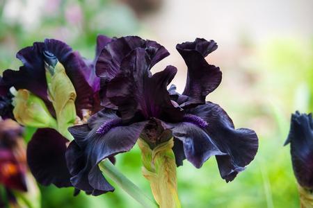 Blooming dark violet german iris in the garden on the flower bed