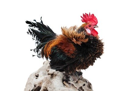 Cock in the hen house isolated on a white background Stock Photo