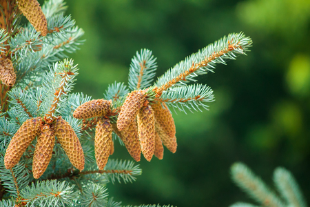 Spruce. Pine tree or Fir Tree with Cones Closeup.