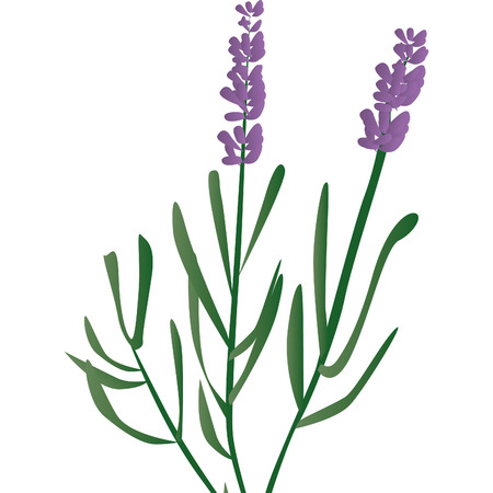 branch of lavender, violet scented beautiful plant Vector
