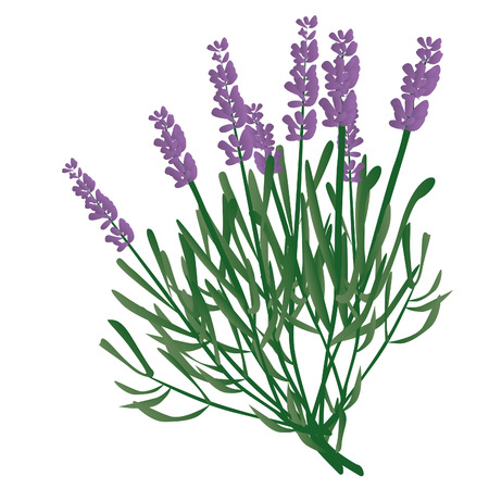 branch of lavender, violet scented beautiful plant Stock Vector - 8096518
