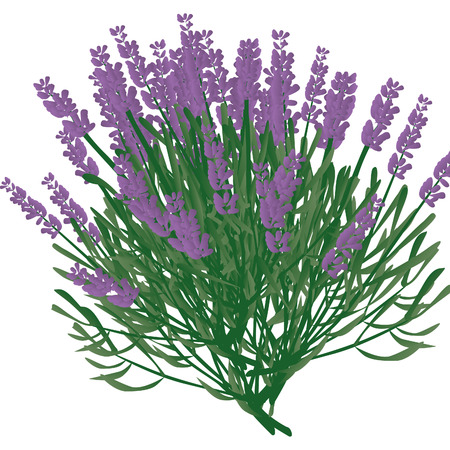 branch of lavender, violet scented beautiful plant Stock Vector - 8096519