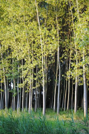 forest of poplars in Italy during the summer