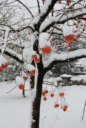 persimmon: snow day in the Italian countryside with tree and flowers covered with white,christmas