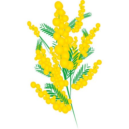 Mimosa for Womens Day in March Illustration