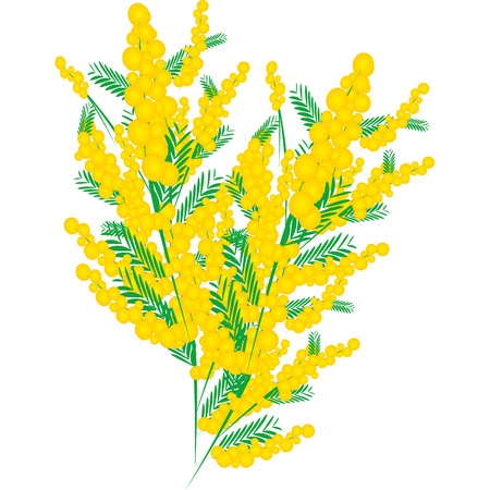 mimosa: Mimosa for Womens Day in March Illustration