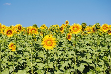field of sunflowers in the countryside of Tuscany Stock Photo