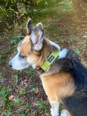 Filipstad, Sweden-10/12/2020-portrait of an Alaskan Husky mixed breed with a green collar of the brand