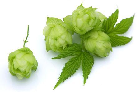 Fioritura hop con foglie su uno sfondo bianco