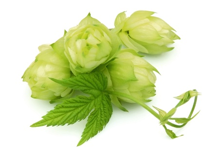 hop hops: Blossoming hop with leaves on a white background Stock Photo