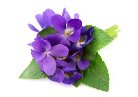 violas: Wood violets flowers close up Stock Photo