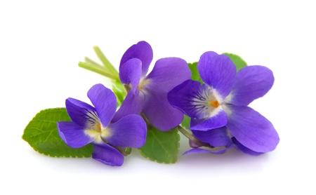 Wild spring violets flowers close up