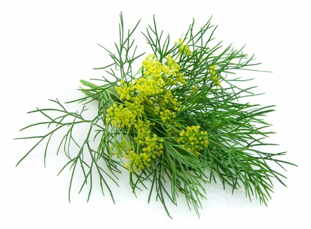 fennel seed: Blossoming fennel on a white background