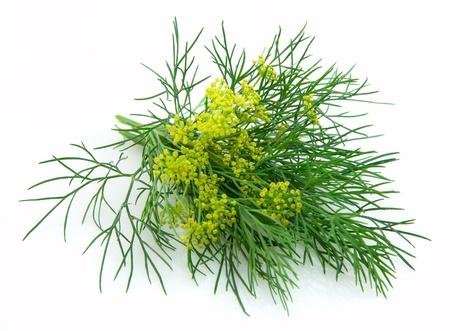 fennel: Hinojo floreciente sobre un fondo blanco