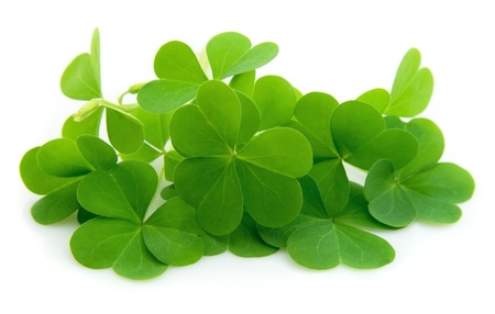 four leaf clovers: leaf clover isolated on white