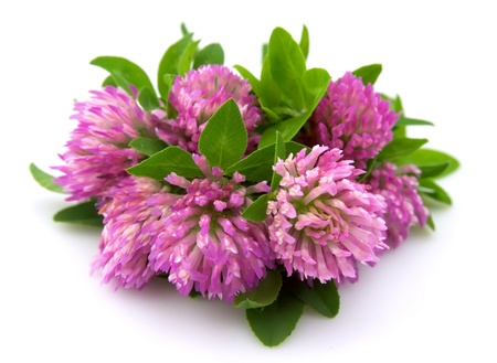 Red clover flower and leaves isolated on white background
