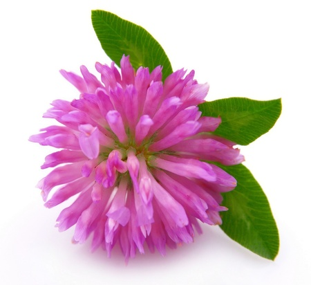 red clover: Red clover flower