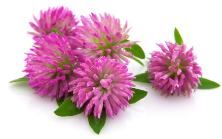 Clover flowers on a white background Stock Photo - 9869728