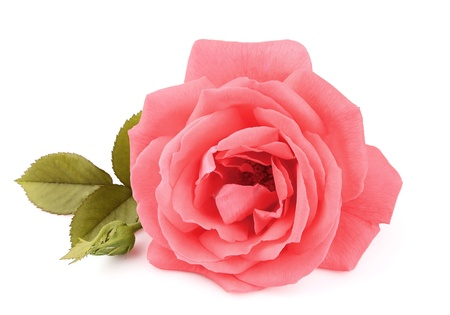 pink rose petals: A single beautiful pink rose with leafs on the white Stock Photo