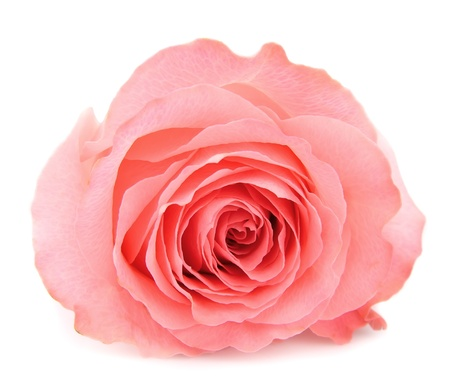 rose isolated: A single beautiful pink rose Stock Photo
