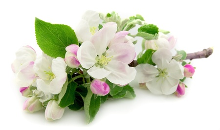 plum tree: Apple flowers on a white background.Spring flowers.