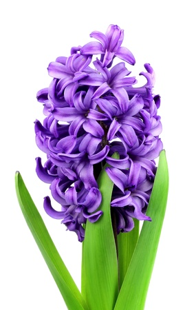 violet flower:  violet flowers hyacinth  on white close up Stock Photo