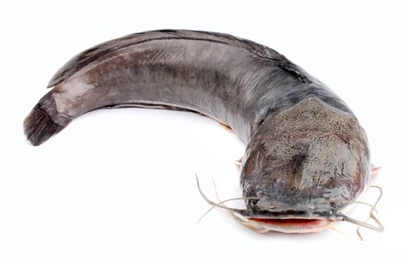 sheat fish: Channel catfish isolated on a white background   Stock Photo