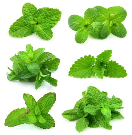 spearmint: collection for fresh mint on white