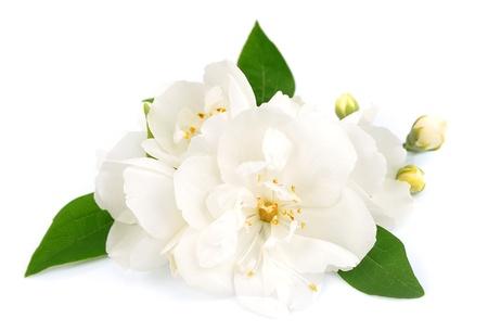 Las flores blancas de jazmín en el blanco