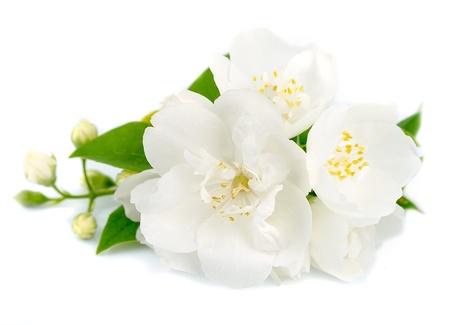 White flowers of jasmine on the whit Stock Photo