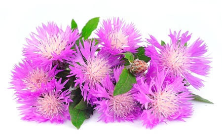 thistle flowers on a white background photo