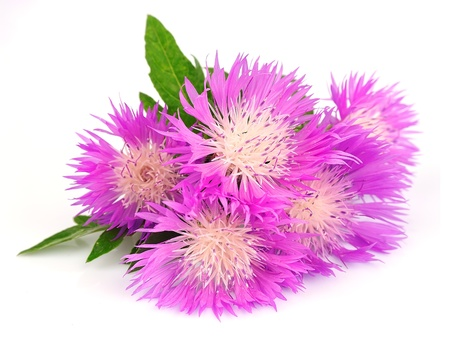 thistle flowers on a white background Stock Photo - 13776554