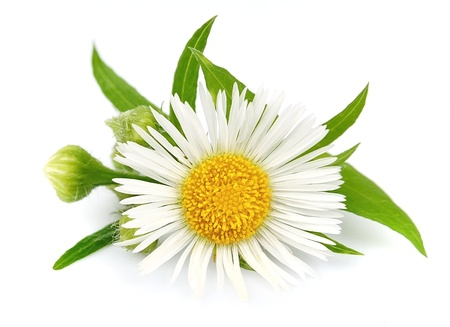 Wood chamomile with leaves on a white background Stock Photo - 13906932
