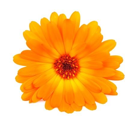 Calendula flower isolated on the white background