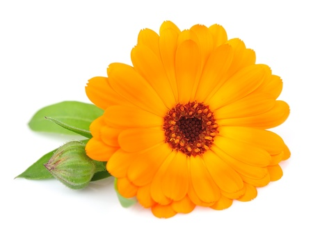 One flower of a calendula close up on a white  Stock Photo