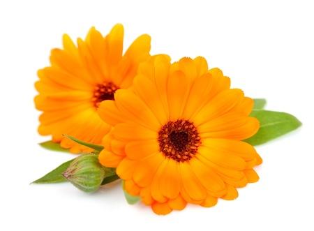 キンセンカの花が白で隔離 写真素材