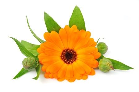 白い背景の上のキンセンカの花 写真素材