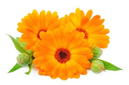 homeopatia: Cal�ndula flores aisladas sobre un fondo blanco Foto de archivo