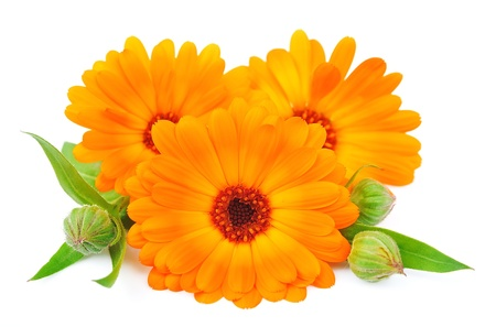 marigolds: Calendula flower isolated on a white background