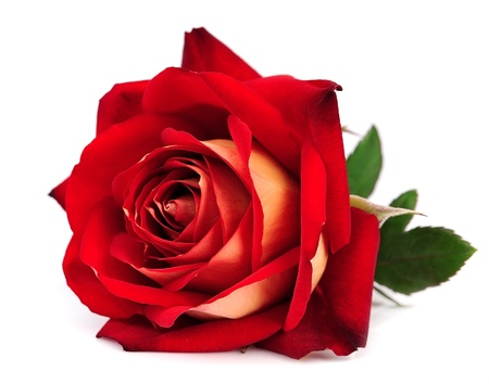 白い背景で隔離の赤いバラ 写真素材