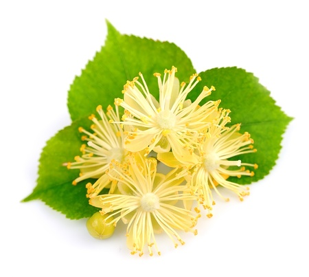 fresh lime flowers on a white background  Stock Photo