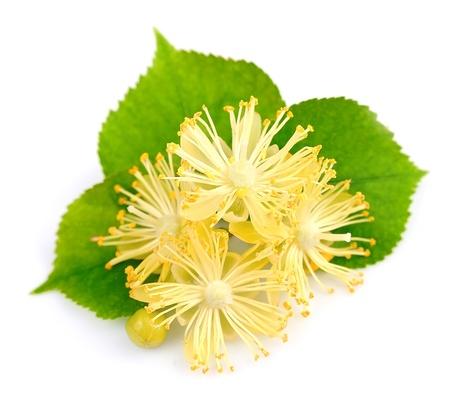 linden tea: fresh lime flowers on a white background  Stock Photo