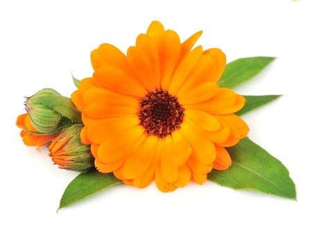 homeopathy: Flor de cempasúchil aislado en un fondo blanco