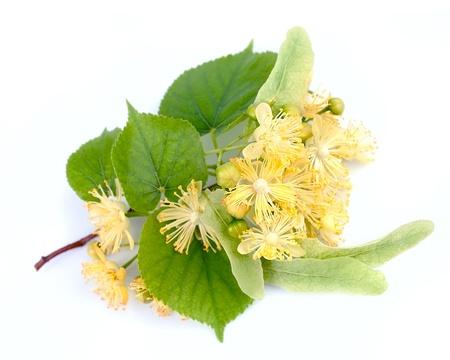 シナノキの花、白い背景の上の枝