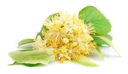 basswood: Linden flowers on white background