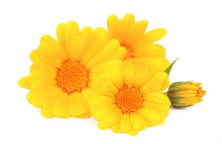 Calendula flower isolated on the white background  photo