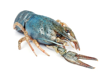 cancers: Decorative dark blue sea crayfish on a white background