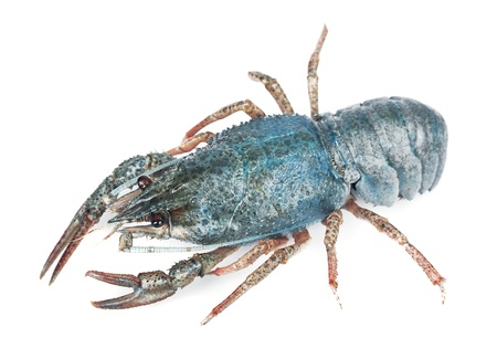 cancers: blue sea crayfish on a white background