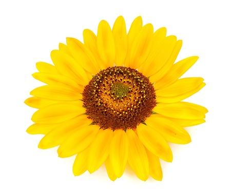 Beautiful sunflower on white background  Stock Photo - 14623168